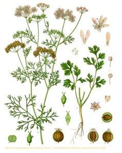 cilantro corriander